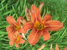 Close-up Of Fresh Day Lilies Blooming On Field