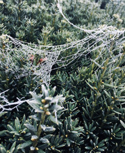 Frozen Cobweb, Ice Cristals And Hoarfrost On Spider's Web On A Green Plant Twigs