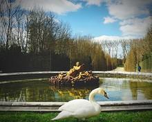 Mute Swan In Park