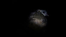 A Partridge Roosts At Night