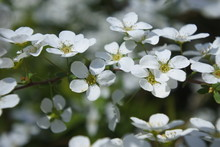 Blooming Tiny White Flower In ...