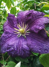 Close-up Of Wet Clematis Flower On Field