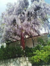 Low Angle View Of Wisteria Tre...
