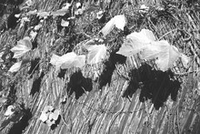 Close-up Of Plants Growing On Thatched Roof