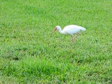 American White Ibis Walking On Grassy Field