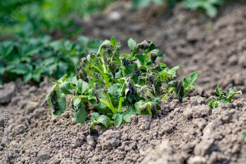 Fotografija Potato plants damaged by the frost