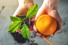 Woman Holds An Orange Tree Sap...