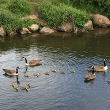 High Angle View Of Canada Geese With Goslings Swimming In Mill Lake