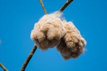 Close-up Of Ripe Cotton Bolls ...