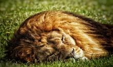 Close-up Of Lion Sleeping On G...