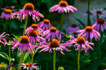 Close-up Of Purple Coneflowers Blooming Outdoors