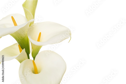 Fototapeta Close-up of a bouquet blooming calla lilly flowers isolated on a white backgroun