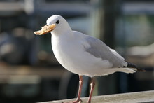 Close Up Of A Seagull Eating A...