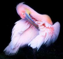 Pink Pelican Preening In Forest