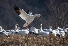 A Snow Goose Comes In For A Landing  Among A Flock Of Its Peers Feeding In A Field