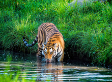 Portrait Of Tiger Drinking In Lake