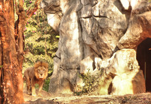 Portrait Of Lion Standing In Forest