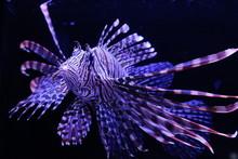 Close-up Of Lionfish In Tank At Aquarium