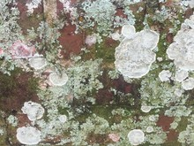 Close-up Of Lichen Growing On ...