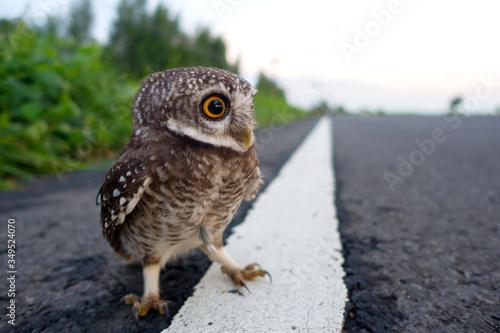 Fotografia Eagle Owl/An eagle owl on blurred background.