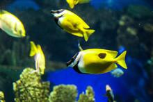Yellow Fish Swimming In Ripley...