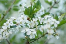 White Fragrant Cherry Flowers In The Spring Garden