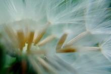 Macro Shot Of White Dandelion Seeds