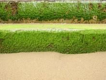 Green Ulva (Enteromorpha) Inte...