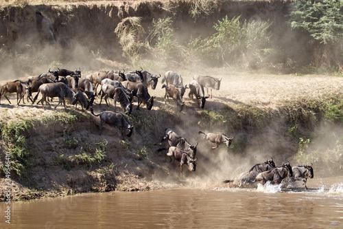Fototapeta wildebeest migration in serengeti national park tanzania