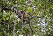 Austen's Brown Hornbill, Round Blue Eyes, Orange-yellow Mouth, White Neck, Wings And Dark Brown Back Two Perched On The Branch Of The Nest