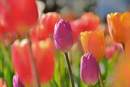 Fototapety, obrazy: Close-up Of Red Tulips