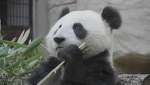 Panda Eat Juicy Bamboo Branche...