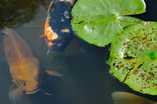 Orange Carp Koi Fish Coming To The Surface In A Shallow Pond