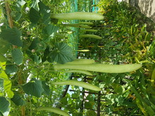 Bottle Gourds Growing At Vegetable Garden