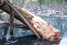 The Dark Water Of The Swamp. Trees, Branches, And Stumps Protrude From The Water. Trees Gnawed By Beavers.