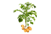 Potato Plant With Tubers On Wh...