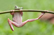 dumpy frog, frogs, tree frog, flying frog,