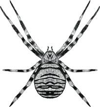 Argiope Spider Striped Black A...