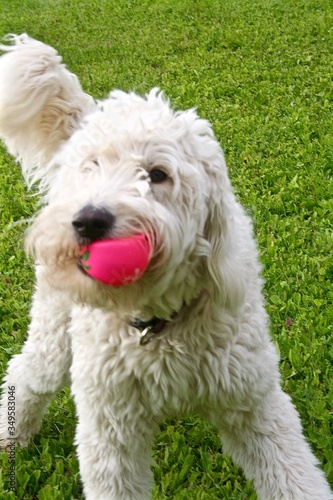 Fotografie, Tablou View Of Dog With Ball In Mouth