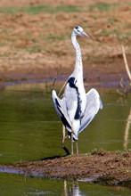 Grey Heron (Ardea Cinerea) Standing With Wings Open, Uda Walawe National Park, Sri Lanka.