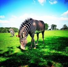 Zebras Grazing On Grassy Field...