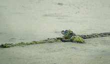 A Baby Gator On A Log In The O...