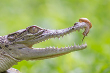 Close-up Of Crocodile Eating Snail