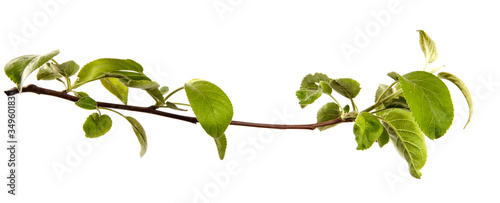 Fototapeta Apple tree branch with leaves on an isolated white background, closeup. Young sprouts of a fruit tree, isolate obraz