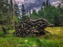 Fallen Ponderosa Pine With Roo...