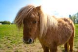Little brown shetland pony standing in a field