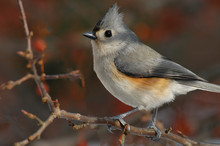 Tufted Titmouse (Baeolophus Bi...