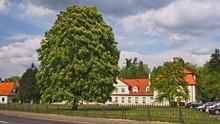 Duży Kwitnący Kasztanowiec