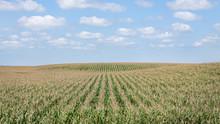 Corn Field In Summer