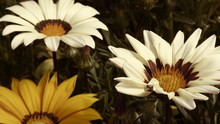 Close-up Of White And Yellow Gazanias Blooming Outdoors